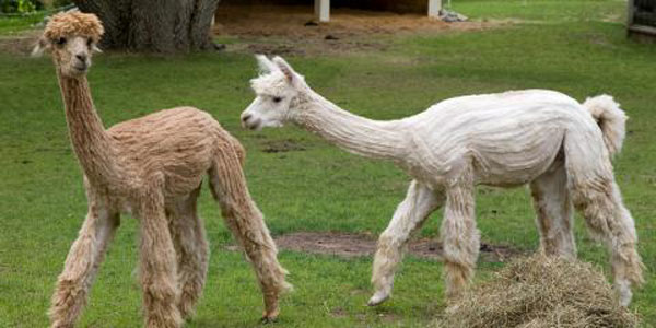 Bill to reclassify, protect alpacas unanimously passes both chambers | The  Henrico Citizen